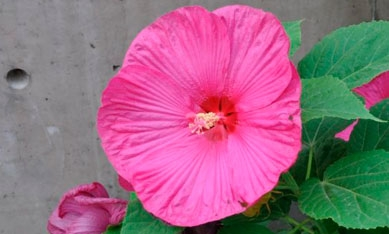 Саженцы гибискуса садового