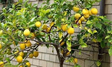 Саженцы комнатных лимонов