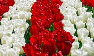 Цибулини тюльпанів зображення