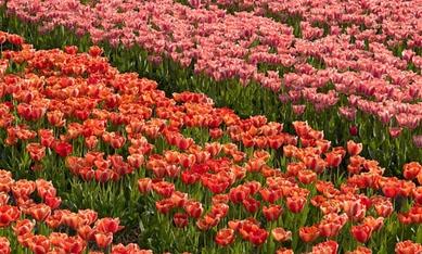 Цибулини тюльпанів фото