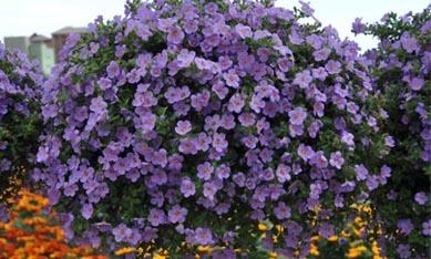 Саженцы подвесных цветов