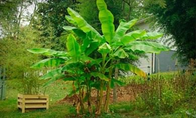 Рассада банана