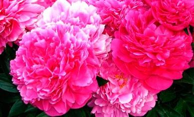 Саженцы розовидных пионов