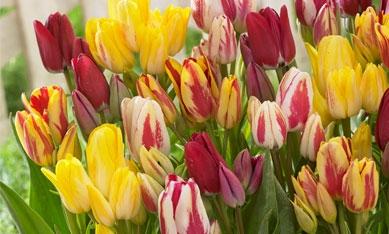 Цибулини сімейних тюльпанів