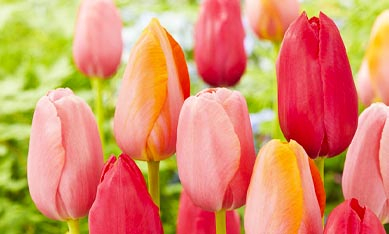 клубни тюльпанов