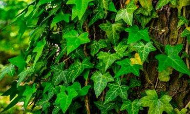 Саженцы вьющихся растений