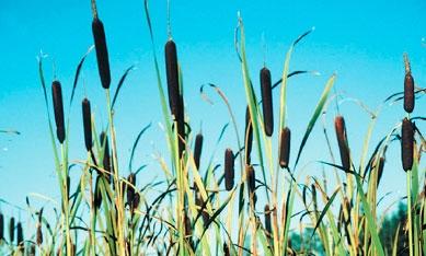 Саженцы водных растений