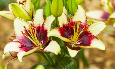 купить азиатские лилии