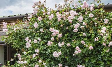 купить саженцы вьющихся роз