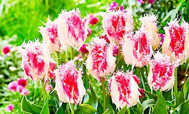 Луковицы бахромчатых тюльпанов