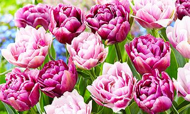 Луковицы махровых тюльпанов
