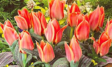 Луковицы ранних тюльпанов