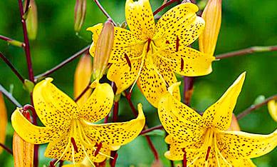 Луковицы видовых лилий