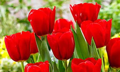 Луковицы гигантских тюльпанов