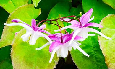 Саженцы эпидемиума (горянки) крупноцветковой