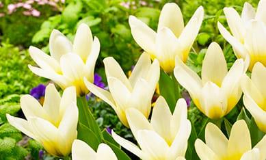 Луковицы тюльпанов Кауфмана