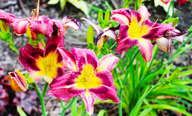 Саженцы лилейников мелкоцветковых
