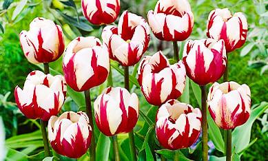 Луковицы многоцветных тюльпанов
