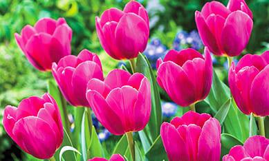 Луковицы одноцветных тюльпанов