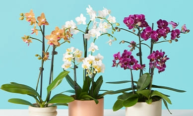 орхидеи из питомника
