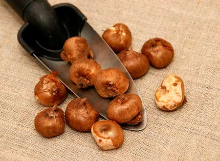Луковицы крокусов и мелколуковичных
