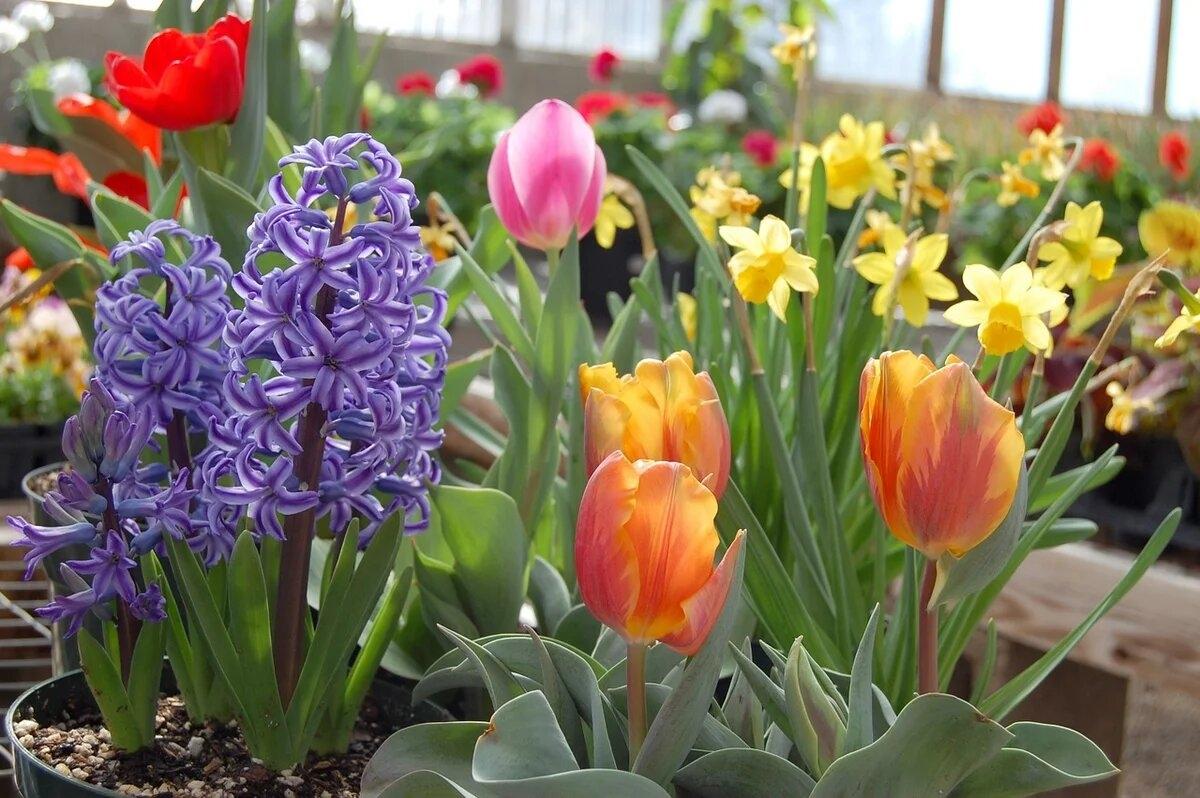 купить клубни цветов