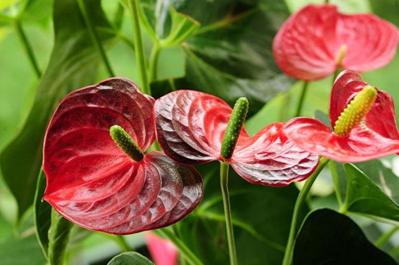 мужское счастье цветок